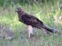 Australian Harrier
