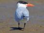 Caspain Tern
