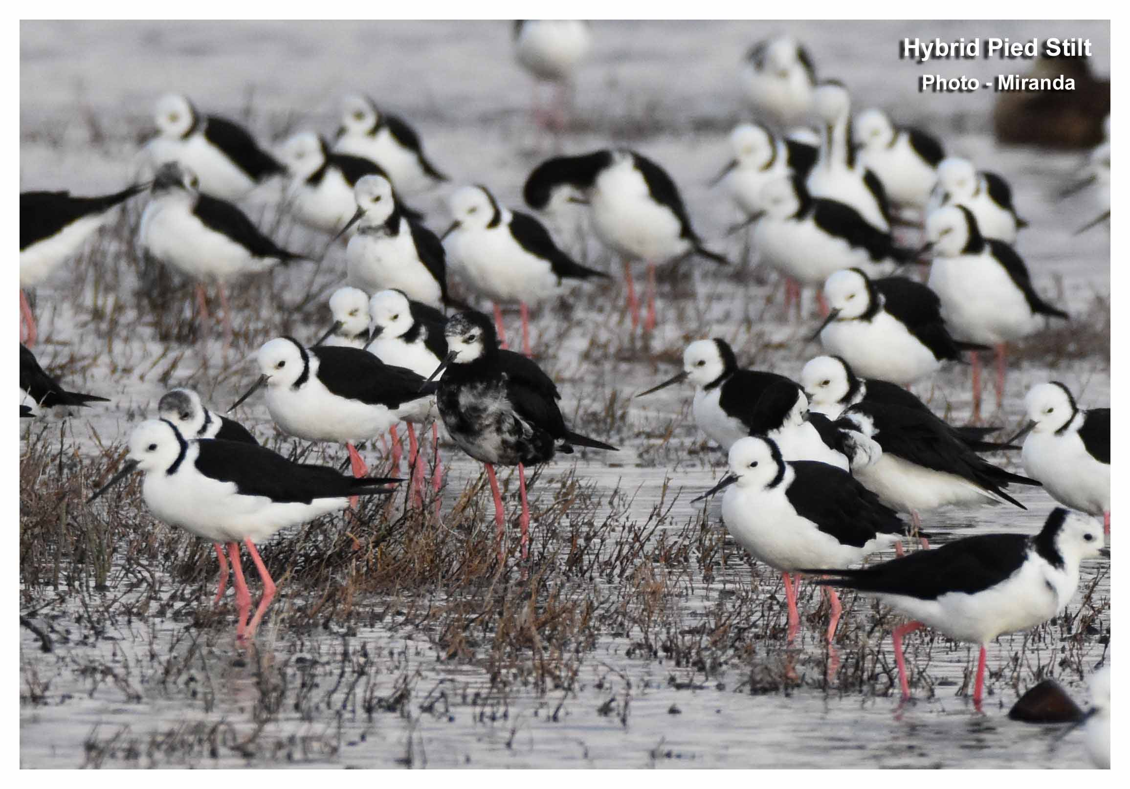 13-hy-pied-stilt-ft-r