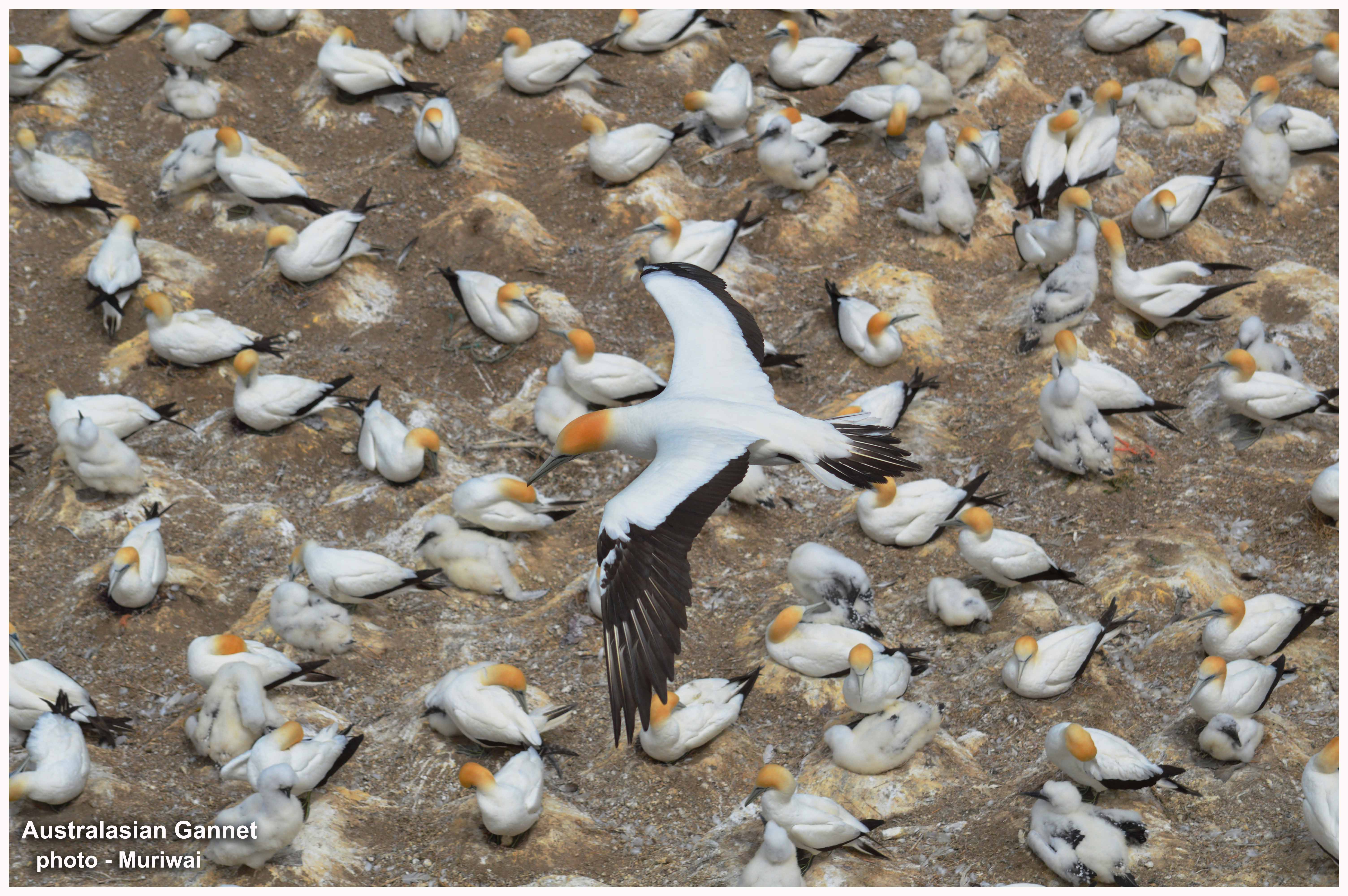 6-gannet-grp-ft-r